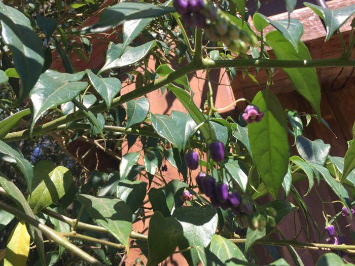 Solanum diploconos é espécie nativa da Floresta Ombrófila Mista e listada comoameaçada pela International Union for Conservation of Nature. A espécie é de subbosque,possui potencial ornamental e frutos comestíveis.